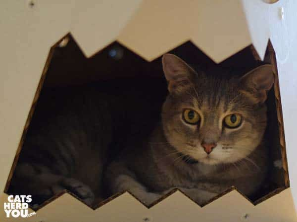 gray tabby cat inside cardboard shark