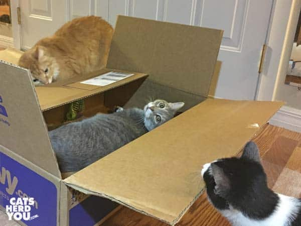 orange tabby cat and black and white tuxedo kitten look at gray tabby cat in box
