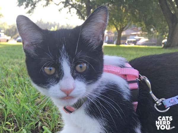 black and white tuxedo kitten wearing harness outdoors