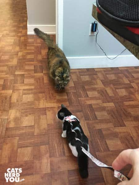 black and white tuxedo kitten meets tortoiseshell cat