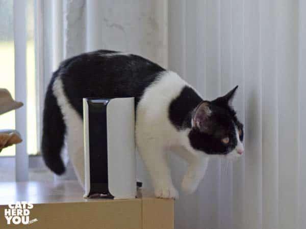black and white tuxedo kitten and Canary camera