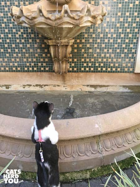 black and white tuxedo kitten looks up at fountain