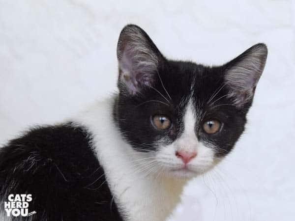 black and white tabby kitten looks over shoulder