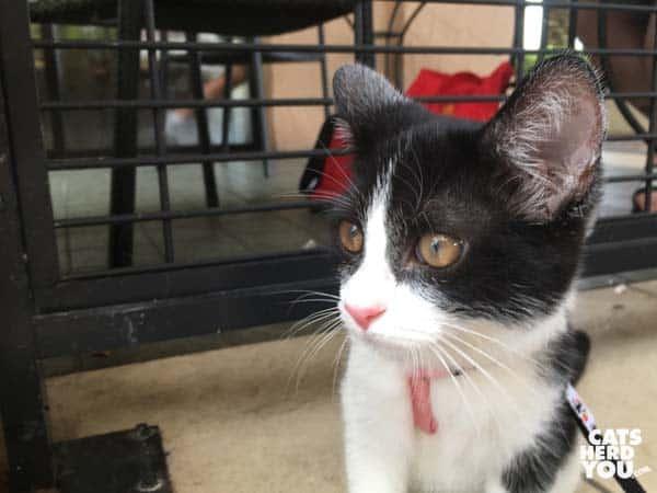 black and white tuxedo kitten looks around corner
