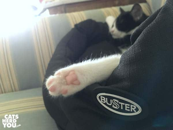 black and white tuxedo kitten's rear paw extends from Buster bed as she sleeps