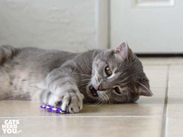 gray tabby cat plays with purple catnip toy