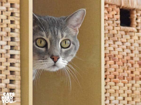 gray tabby cat peeks around corner