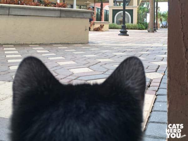 black and white tuxedo kitten looks at dog