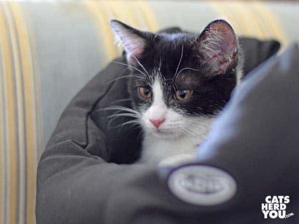 black and white tuxedo kitten sits in Buster bed