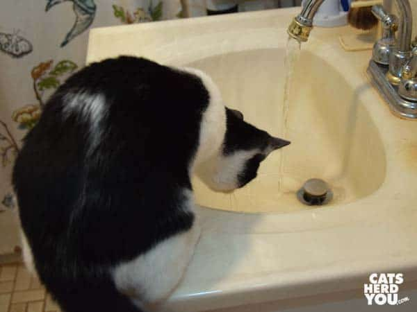 black and white tuxeco kitten looks at water in sink