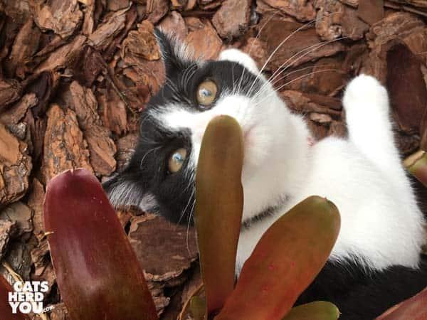 black and white tuxedo kitten sniffs plant leaf