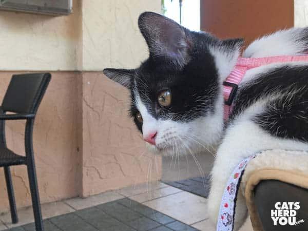 black and white tuxedo kitten sits on edge of table
