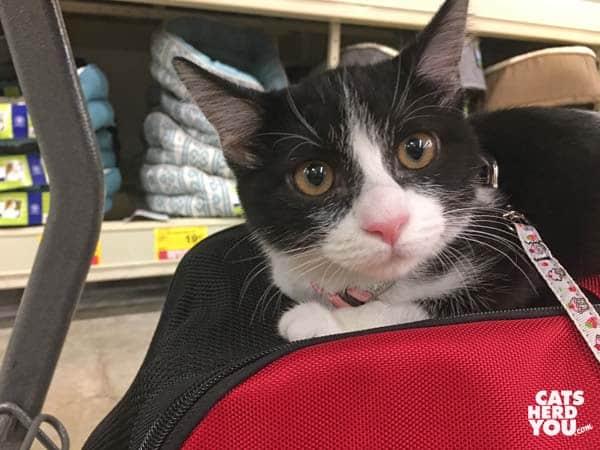black and white tuxedo kitten face