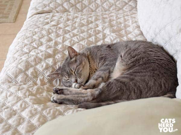 gray tabby cat sleeps on sofa