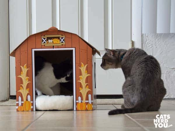 gray tabby cat looks into barn window at black and white tuxedo kitten