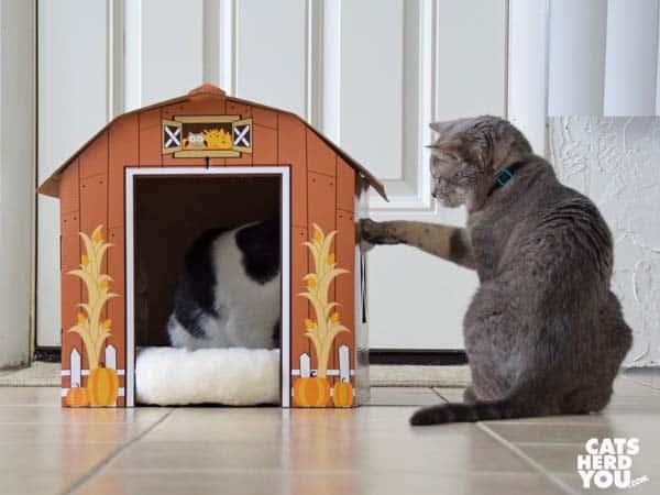 gray tabby cat swats black and white tuxedo kitten inside barn