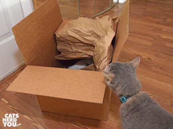 gray tabby cat looks at cardboard box
