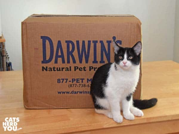 Black and white tuxedo kitten with box of Darwin frozen raw cat food