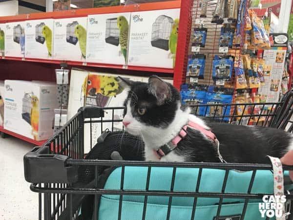black and white tuxedo kitten rides her sleepypod carrier in pet store