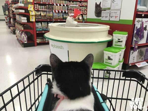black and white tuxedo kitten looks at cat litter in the pet store