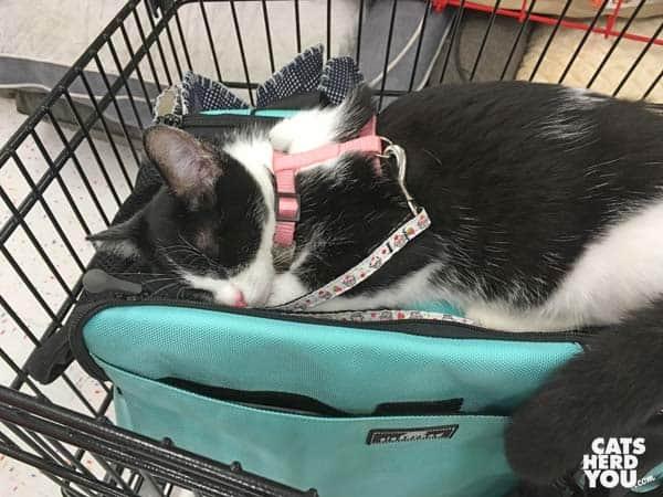 black and white tuxedo kitten sleeps atop her carrier in pet store