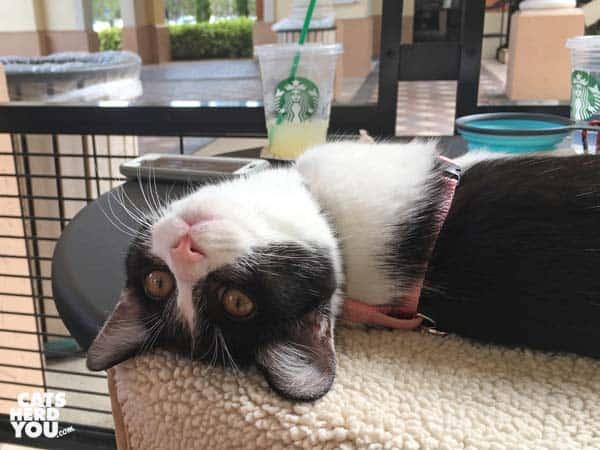 black and white tuxedo kitten lounges on table