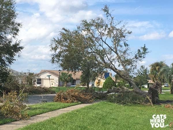 Fallen tree after hurricane Irma