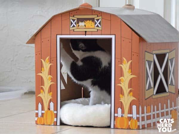 black and white tuxedo kitten paws at inner wall of barn