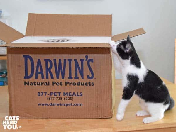 black and white tuxedo kitten unboxing Darwin frozen raw cat food