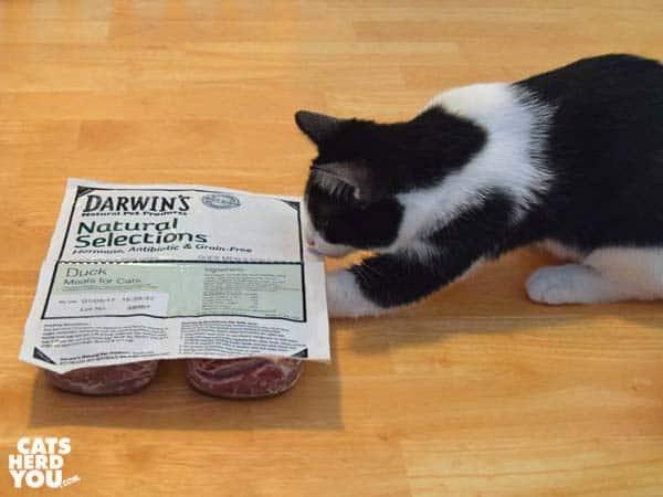 blackand white tuxedo kitten reaches under Darwin frozen raw cat food