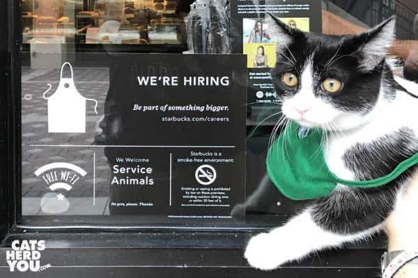 black and white tuxedo kitten wears green Starbucks apron