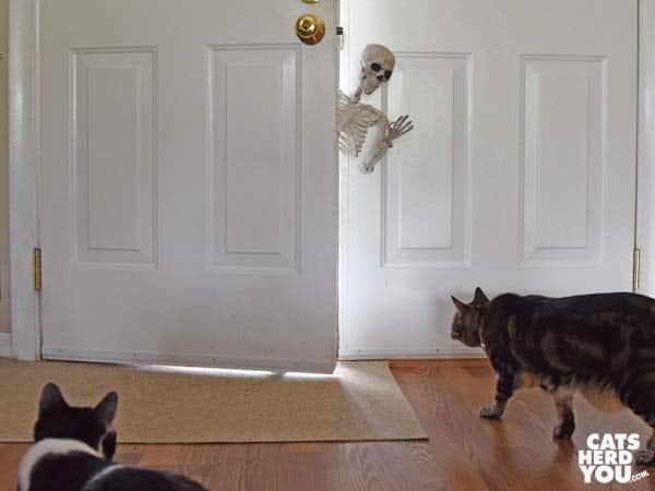 black and white tuxedo cat and brown tabby cat look at skeleton