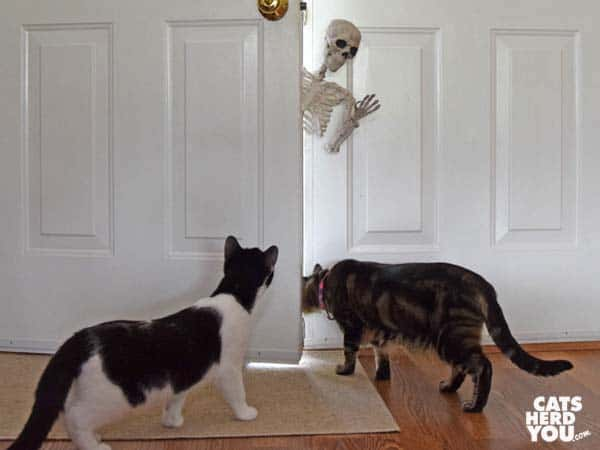 black and white tuxedo cat watches brown tabby cat ignore skeleton leaning in door