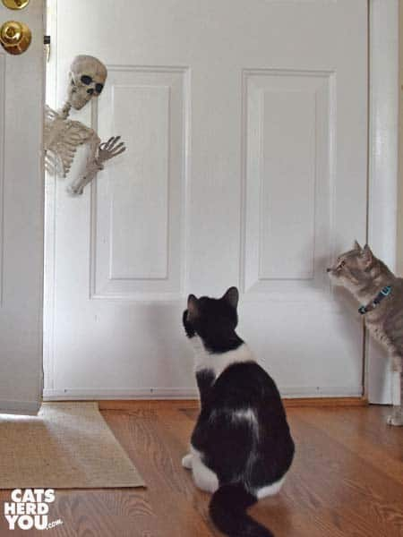 black and white tuxedo cat and gray tabby cat look at skeleton leaning in open door