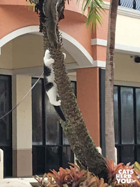 black and white tuxedo kitten climbs tree after squirrel