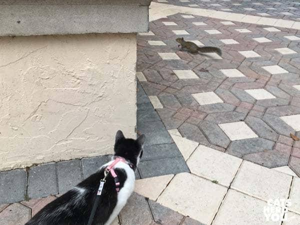 black and white tuxedo kitten follows squirrel