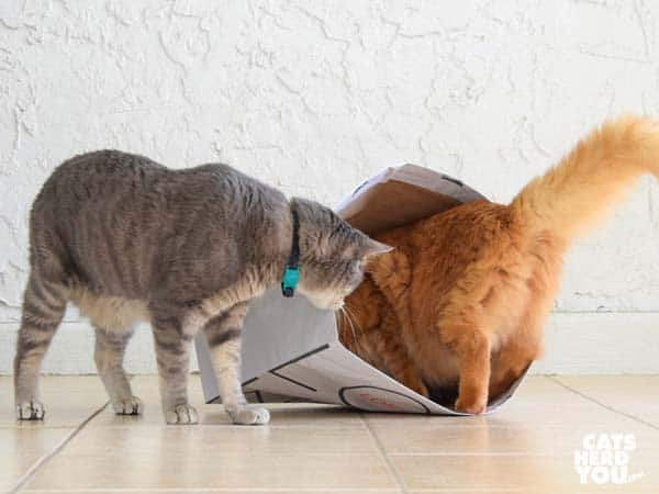 gray tabby cat watches orange tabby cat go into paper bag