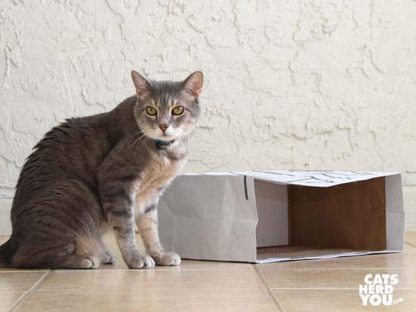 gray tabby cat sits beside paper bag