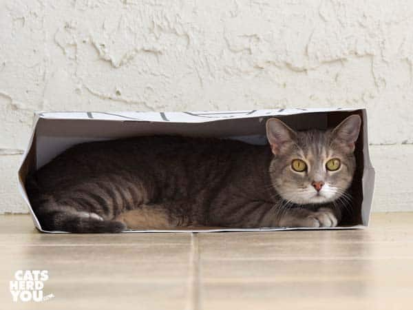gray tabby cat in paper bag