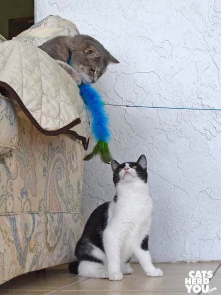 black and white tuxedo kitten watches gray tabby cat play with wand toy