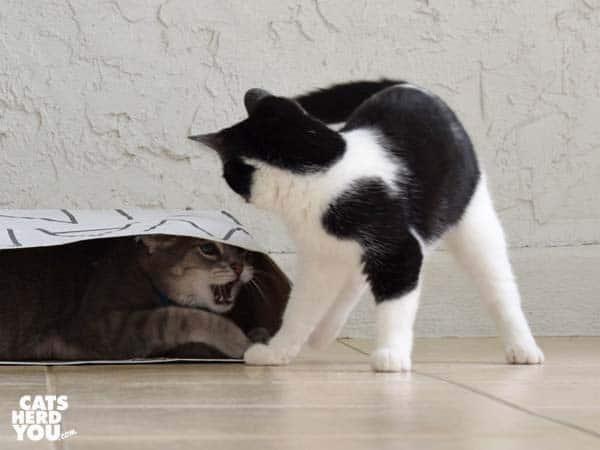 gray tabby cat hisses at black and white tuxedo kitten