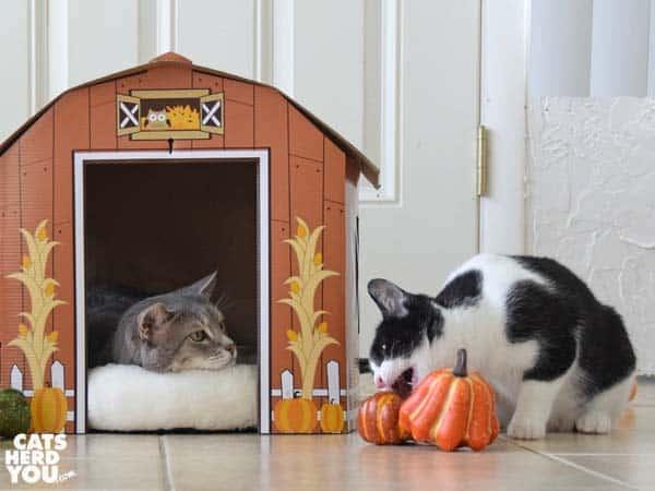 gray tabby cat in barn looks at black and white tuxedo kitten