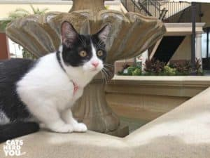 black and white tuxedo kitten sits on edge of cement fountain