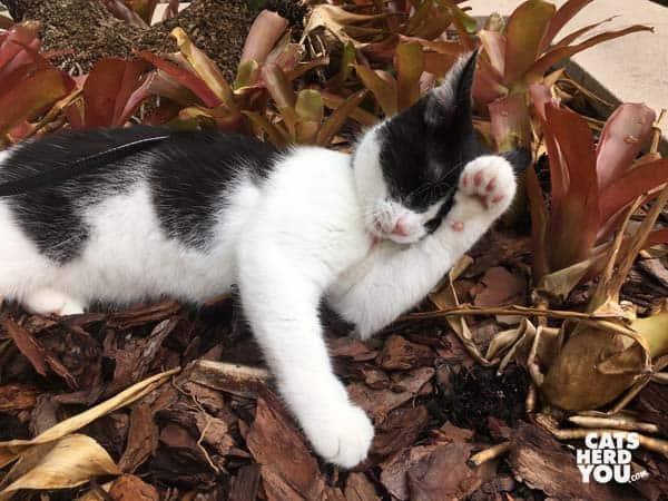 black and white tuxedo kitten bathes in flower bed