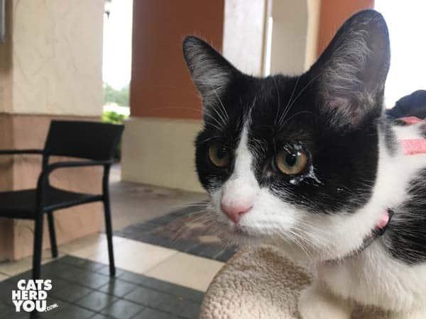 black and white tuxedo kitten with whipped cream around eye