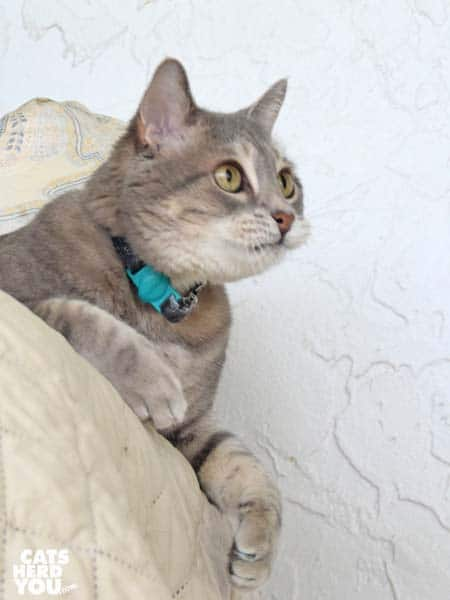 gray tabby cat looks alert