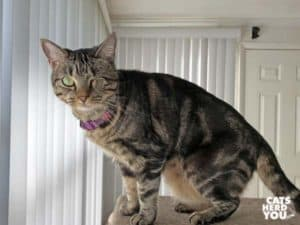 one-eyed brown tabby cat on cat tree
