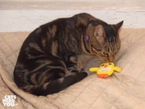 one-eyed brown tabby cat looks at chick