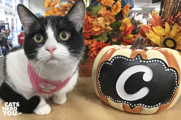 black and white tuxedo kitten and pumpkin with C on it