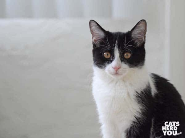 black and white tuxedo kitten